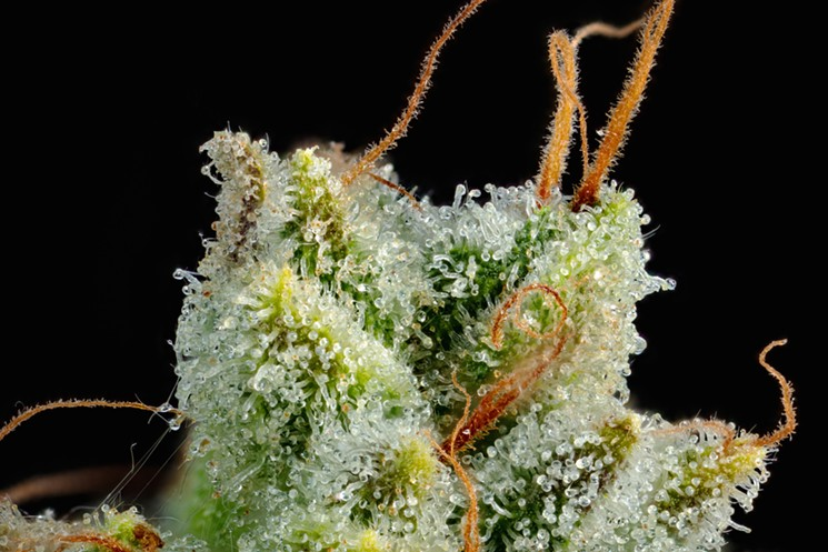Best Weed Strains Of 2019 The 5 Best Cannabis Strains This Fall   L.A. Cannabis News